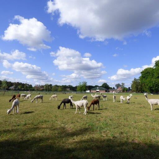 Alpacabezoek op woensdag 10 juni
