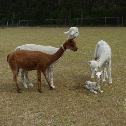 Alpacabezoek op zaterdag 13 juni