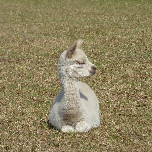 Alpacabezoek op woensdag 8 juli
