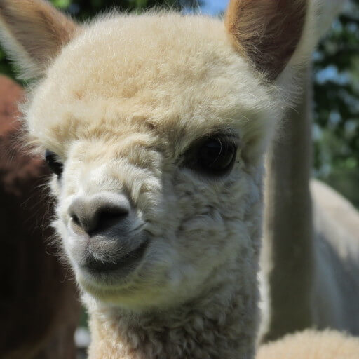 Alpacabezoek op woensdag 22 juli