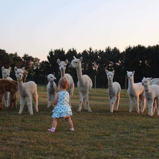 Alpacabezoek op woensdag 29 juli