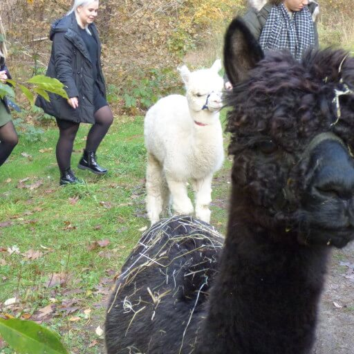 The Alpaca Experience - XL
