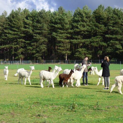 Alpacabezoek op zaterdag 6 juni